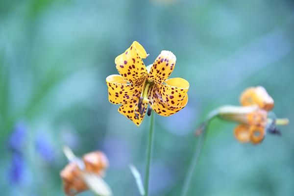 Sierra Lily